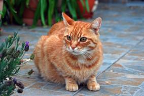 рыжий кот, животные, коты, кот, рыжий