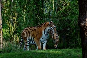 тигр, джунгли