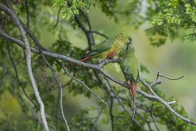 ветки, птицы, поцелуй, попугаи, парочка, Изумрудный попугай