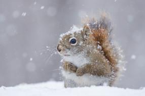 зима, снег, белка