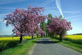 дорога, деревья, поле, рапс, цветущие, весна