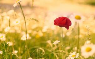 цветок, лето, мак