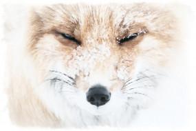 акварель, снег, рисунок лисы, морда лисы