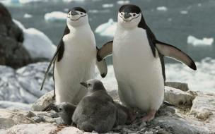 пингвинята, скалы, камни, море, лед, пингвины, пара, птенцы