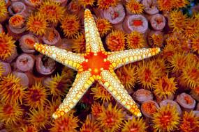 звезда, морская