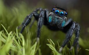 животные, пауки, паук, глаза, скакунчик, трава, растение, мордашка, черный, природа, фон, зеленый, макро, портрет, паучок, мохнатые, лапки, синеглазый