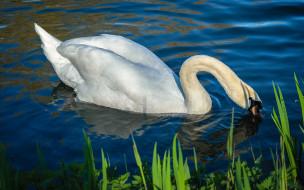 животные, лебеди, лебедь, водоем, шея, плывет, белый, крылья, свет, белоснежный, белая, синий, голубая, изгиб, оперение, зелень, вода, голубой, фон, берег, отражение, перья