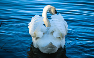 животные, лебеди, лебедь, водоем, шея, плывет, профиль, белый, крылья