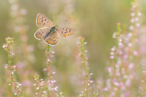 животные, бабочки,  мотыльки,  моли, бабоЧка, фон, прирада, цветы