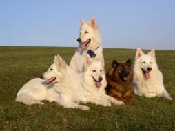 животные, собаки, овчарки, белые, рыжая, трава