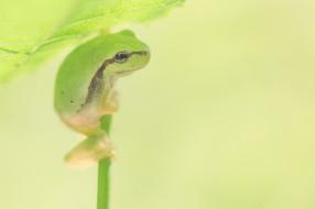 животные, лягушки, боке, лягушка, лист, фон