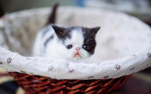 животные, коты, перс, котенок, корзинка, маленький, мордочка, экстремал, кошка