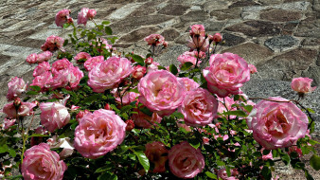 цветы, розы, розовый, куст, много