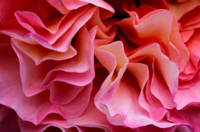 цветы, розы, роза