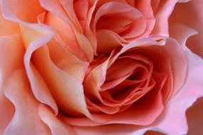 цветы, розы, роза, бутоны, макро