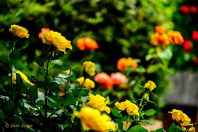 цветы, розы, роза, цветение, кусты