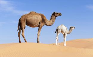 пустыня, песок, одногорбые, верблюдица, верблюжонок
