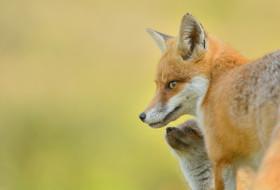 животные, лисы, лиса, окрас, взгляд, рыжик, животное