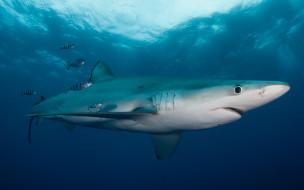 животные, акулы, маленькие, рыба, подводный, мир, толща, воды, рыбы, рыбки, голубая, акула, обитатели, морей, фауна, свет, подводная, съёмка, океан, вода, море, под, водой, полосатые
