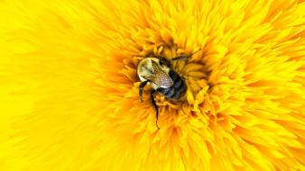 животные, пчелы,  осы,  шмели, цветок, желтый, пчела, насекомое, лепестки, шмель, макро