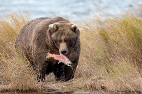животные, медведи, опасен, большой, шерсть, мишка