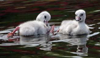 животные, лебеди, вода, малыши, игра, гуси, пара