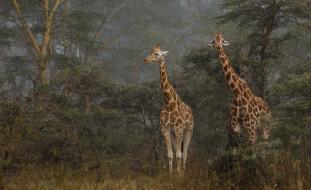 животные, жирафы, жираф, окрас, расцветка, пара, деревья