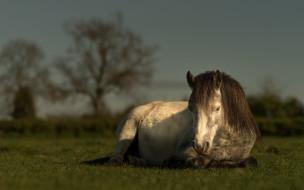 животные, лошади, пастбище, деревья, спокойствие, пегий, морда, настроение, поле, лошадь, газон, конь, небо, трава, лежит, кони, свет, отдых, природа, луг, лето
