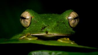 животные, лягушки, мордашка, черный, фон, макро, крупный, план, зеленая, глаза, амфибии, земноводные, зрачки, лягушка