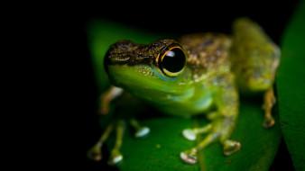 животные, лягушки, амфибии, земноводные, лягушка, макро, черный, фон, зеленая, глаза