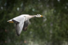 животные, утки, природа, птица, полёт