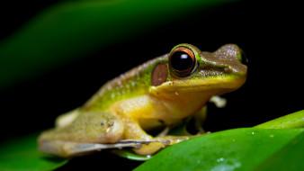 животные, лягушки, зеленый, зеленая, с, желтым, амфибии, зрачки, земноводные, листок, лягушка, мордашка, черный, фон, сидит, глаза, макро, лист