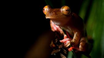 животные, лягушки, желтоглазая, стебель, глаза, амфибии, рыжая, зрачки, лягушка, оранжевая, сидит, земноводные, лист, макро, листок, мордашка, черный, фон, зеленый