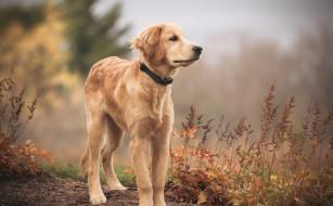 животные, собаки, друг, golden, retriever, взгляд, собака