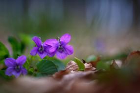 цвет, лес, цветение, фиалка