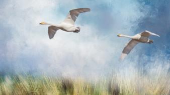 рисованное, животные, птицы, рисунок, поле, летят, гуси, облака, крылья, полёт, арт, гусь, живопись, белые, синева, полет, голубое, небо, трава