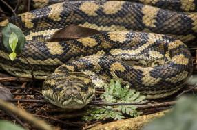 животные, змеи,  питоны,  кобры, змея