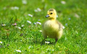 животные, гуси, маленький, цветы, поле, зелень, лужайка, гусенок, желтый, птенец, пушистик, птицы, малыш, гусь, гусёнок, лето, луг, ромашки, трава, весна