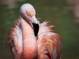 животные, фламинго, птица