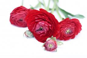 ранункулюс, цветы, букет, азиатский лютик, ранункулюсы, бутоны