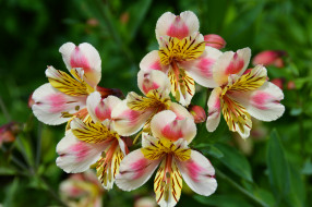 обои для рабочего стола 2048x1362 цветы, альстромерия, альстамерия, цветок, цветение