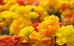 много, лепестки, тюльпаны, разноцветные, цветение