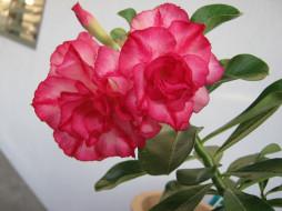 бутон, розовый, цветение