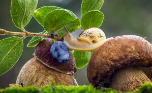 животные, улитки, боровики, ягода, улитка, трава, макро, голубика, грибы