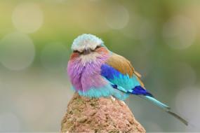 окрас, птица, забавная, перья