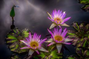 цветы, лилии водяные,  нимфеи,  кувшинки, цветок