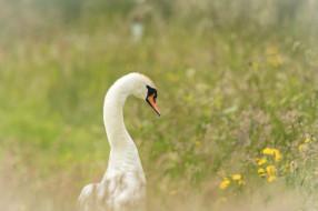 животные, лебеди, гусь, трава, цветы
