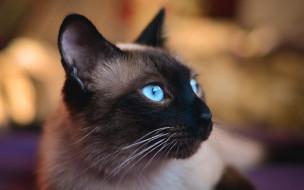 животные, коты, сиамский