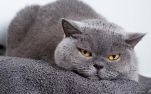 животные, коты, серый