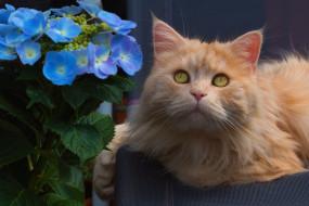 животные, коты, котик, животное, взгляд, усы, рыжик, цветы, гортензия